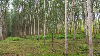 Rubber Tree Plantation and Raw Rubber collection.
