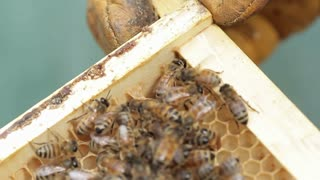 Small hive beetle in honey bee hive