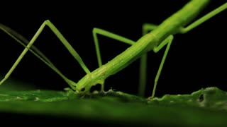 Stick Insect Eating  - Phasmatodea (3 of 4)