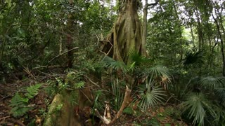 Temperate Rainforest Australian Landscape - Fig tree