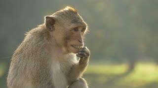 Temple monkey eating Angkor Wat Cambodia
