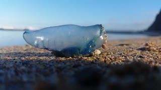 The Portuguese man o' war Bluebottle jellyfish on beach.
