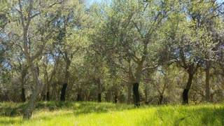 This is a cork oak tree forest, also known as quercus suber, commonly called the cork oak, a medium-sized, evergreen oak tree in the section Quercus sect. Cerris.