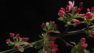 Timelapse of Red Crab-apple flower blossom blooming dolly shot