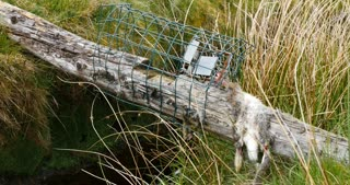 Animal wildlife trapping - Dead rabbit killed by trap