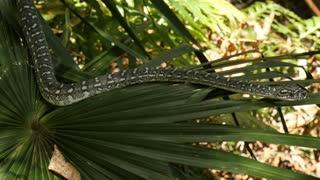 Australian reptile snake the Diamond Python in rain forest