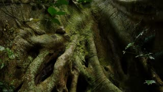 Buttress root fig tree in temperate rainforest of Australia