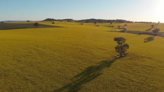 Canola field rural Australia agriculture farming landscape - Aerial drone shot