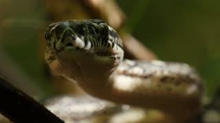 Closeup of snake eyes and mouth hunting - Diamond Python