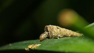 Cone Case Moth Psychidae Caterpillar Insect Macro