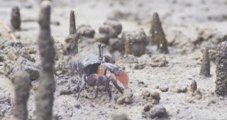 Crab crustacean mangrove saltmarsh tidal flat