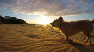 Cute dog terrier cross running and playing on beach at sunrise slow motion