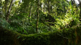 Dolly shot of wild natural fig tree buttress root rainforest environment