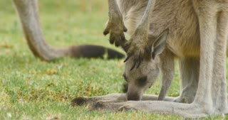 Eastern grey kangaroo joey marsupial wildlife native to Australia