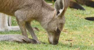 Eastern grey kangaroo marsupial wildlife native to Australia