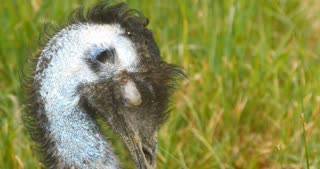 Emu flightless bird wildlife native to Australia