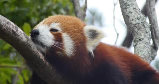 Endangered species Red panda also known as the lesser panda or red bear-cat