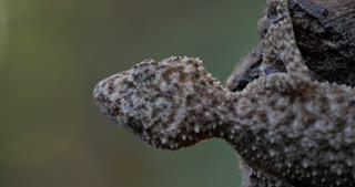 Gecko in rain wet weather of rainforest