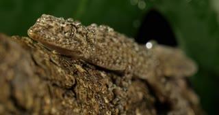 Gecko lizard reptile in rain wet weather