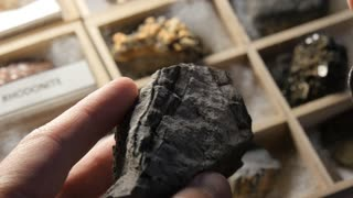 Glossopteris tree root Paleontologist studying fossil from prehistoric time