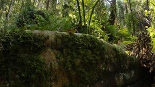 Green forest fig tree buttress root vegetation natural rainforest