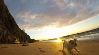 Happy dog at the beach runs playing on beach sunrise sunset slow motion