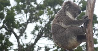 Koala native Australian Marsupial sleeping in tree