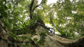Large fig tree in temperate rainforest of Australia