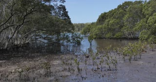 Mangrove time lapse trees tide in marine estuaries tidal mud flat