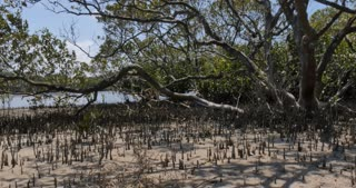 Mangrove trees in coastal wetland estuary environment