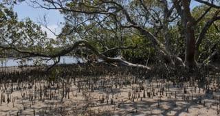 Mangrove trees in coastal wetland estuary environment