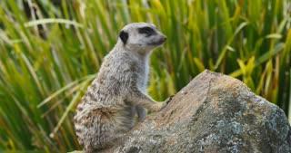Meerkat on the lookout african wildlife animal (Suricata suricatta)