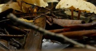 Mushroom fungues of the fungi eukaryotic organisms