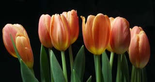 Orange tulips flower plant blooming time lapse