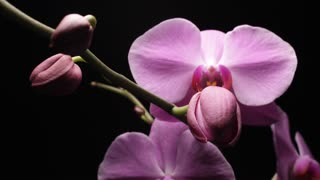 Orchid bud flower blooming timelapse (Phalaenopsis Orchid)