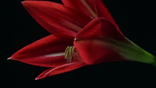 Plant flower blooming time lapse Amaryllis blooming stamen and pistil CU