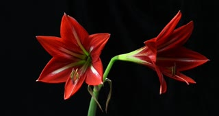 Plant flower opening time lapse Amaryllis blooming (Hippeastrum sp.)