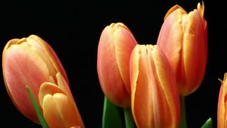 Plant Flower time lapse Orange tulips blooming