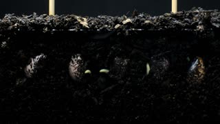 Plant seed roots growing underground hypogeal germination time lapse
