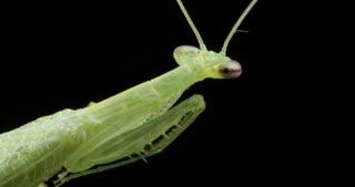 Praying Mantis Insect macro closeup - Mantodea