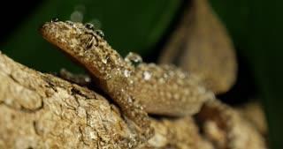 Rainforest Gecko lizard reptile