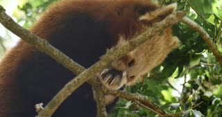 Red panda also known as the lesser panda or red bear-cat