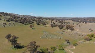 Rural Australia agriculture livestock grazing farmland - Aerial drone shot