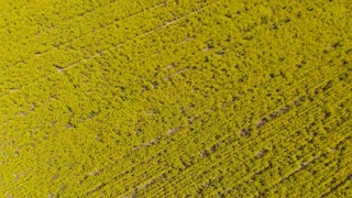 Rural Australia Canola field agriculture farming landscape - Aerial drone shot