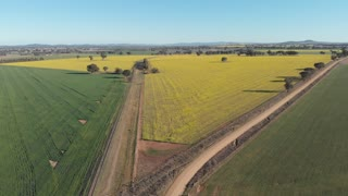 Rural Australia Canola field crop farming agricultural landscape - Aerial footag