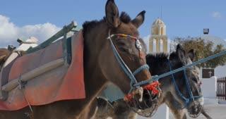 Santorini Greece - Donkey in the village of Oia in Greek Islands Aegean