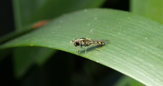 Small Slender Hover Fly - flower flies or syrphid flies