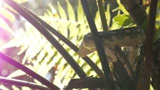 Snake hunting in lush rain forest environment - Diamond Python