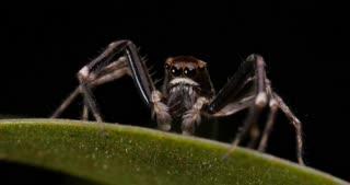 Spider macro insect footage - Aussie Bronze Jumper