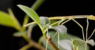 Stick insect Phasmatodea, Phasmida or Phasmatoptera